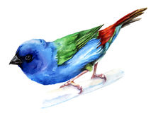 Forbes finch, watercolor painting. Vector illustration Royalty Free Stock Images