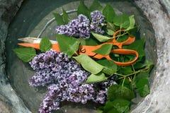 Forbici arancio pesanti del grande metallo fra i rami di un lillà sbocciante con i piccoli fiori della porpora e delle foglie ver Immagini Stock
