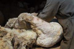 Forbici della mano di tosatura delle pecore Fotografie Stock Libere da Diritti