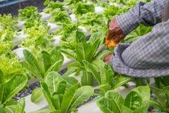 Forbici della tenuta dell'uomo che tagliano verdura Fotografia Stock Libera da Diritti