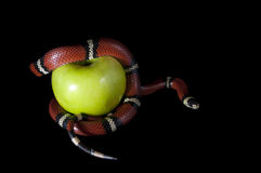 The forbidden fruit. Snake around the apples on a black background royalty free stock photo