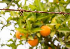 Forbidden fruits behind barbed wire Royalty Free Stock Image