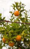 Forbidden fruits behind barbed wire Royalty Free Stock Photos