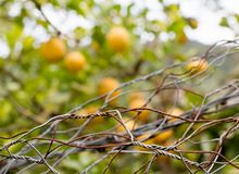 Forbidden fruits behind iron netting fence Stock Photography