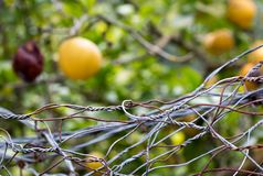 Forbidden fruits behind iron netting fence Royalty Free Stock Images