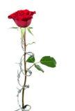 Forbidden Rose Stock Image