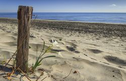 The force of nature: lonely flower on the sandy beach next to a nailed wooden pole. Summer wildflowers. Alimini beach: Pancratium Maritimum, or Sea Daffodil Royalty Free Stock Photography