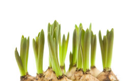 Forced muscari bulbs Royalty Free Stock Photo