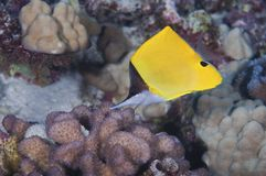 Forceps Butterfly Fish Royalty Free Stock Image