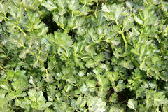 Ford-hook Emperor Celery. Apium graveolens, Winter Celery, dwarf type averaging about 30 to 45 tall, smooth thick stalks 2-3 cm across, tops green stalks royalty free stock photo