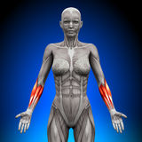 Forearms - Female Anatomy Muscles Royalty Free Stock Image