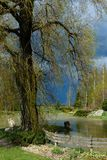 At the forefront of a huge willow at the pond. Rural landscape; at the forefront of a huge willow at the pond, two light dogs sitting at the pond; back blue royalty free stock images