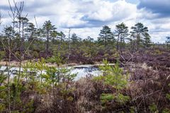 At the forefront there is the water of the bog. Marsh landscape in the spring, a cloudy day; At the forefront there is the water of the bog, in which the blue stock images