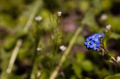 Foreget yo flores de los nots Imagenes de archivo