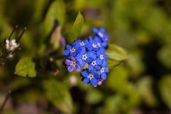 Foreget yo flores de los nots Fotos de archivo libres de regalías