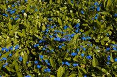 Foreget yo flores de los nots Imagen de archivo libre de regalías