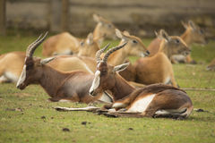 In the foreground Blesbok, Damaliscus dorcas phillipsi Royalty Free Stock Images