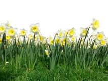 Foreground Daffodil Flowers Stock Image