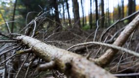 At the foreground fallen dry tree with many branches royalty free stock photography