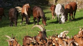 Foreground of goats with billy-goat that protects,and horses of background grazing in freedom. stock video footage
