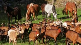 Foreground of goats and horses of background grazing in freedom. stock footage
