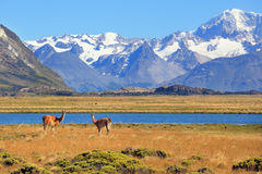 In the foreground are grazing guanaco Royalty Free Stock Photo