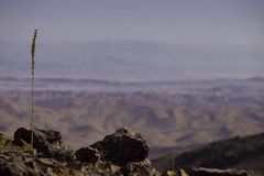 A lone stalk among the stones in the Judean desert against the b. In the foreground a lone stalk among the stones in the Judean desert against the background of Stock Photos