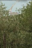 Olive trees in the Mediterranean environment royalty free stock photography