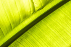 Foreground of a Palm leaf. Green palm leaf closeup texture Royalty Free Stock Photography