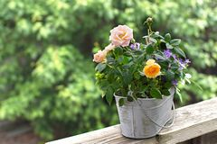 Small yellow-pink roses in a pot against the green leaves of the tree are in blur. royalty free stock photo