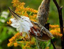 A Dried Milkweed With Seeds stock image