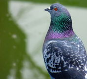 Foreground of a pigeon Stock Photo