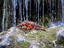 Foreground of a red crayfish with a background of water cascade blurred. Animal, antenna, astrology, beautiful, blue, boiled, cancers, carapace, chela, claws stock photos