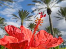 Blossom splendor - red hibiscus blossom in front of palm tree background Royalty Free Stock Image