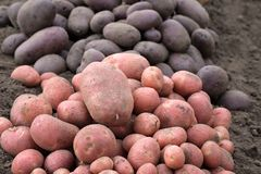 In the foreground, red potatoes in the background are black, everywhere the ground stock image
