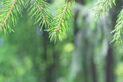 In the foreground on top of the branches of pine or spruce. The background is blurred. royalty free stock image