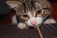Close-up of puppy cat snout. Foreground a white and striped young cat while he is playing with a thread royalty free stock photos