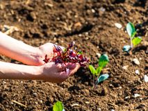 Young woman has a small plant in her hands, in the background the vegetable garden cultivated. In the foreground young woman has a small plant in her hands, in royalty free stock photos