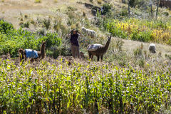 A foreign lady stands with two llamas amongst a field of corn. Stock Photos