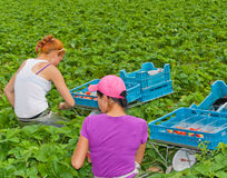 Foreign seasonal workers picking strawberries Stock Images