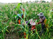 Foreign workers Burmese  Myanmar or Burma  Hire to harvest Sweet corn. In the area north Thailand border. The sweet corn send manufacture factory make to Canned stock image