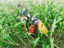 Foreign workers Burmese  Myanmar or Burma  Hire to harvest Sweet corn. In the area north Thailand border. The sweet corn send manufacture factory make to Canned royalty free stock image