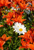 Foreigners in the crowd. Daisies in the heap of tiger lilies Royalty Free Stock Photography