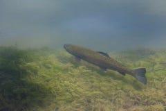 Forel dans l'habitat naturel d'environnement de poissons Photographie stock