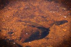 Forel in de rivier royalty-vrije stock afbeelding