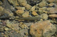 Forel in duidelijk water Royalty-vrije Stock Foto's