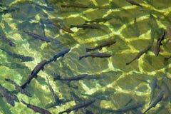 Forel in een viskwekerij stock fotografie