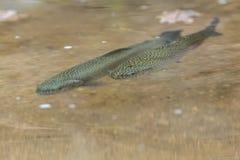 Forel in het meer stock afbeelding