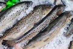 forel Verse vissen op ijs Royalty-vrije Stock Afbeelding