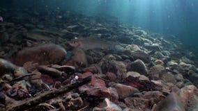 Forel visserij onderwater in stroom van water van Lena River in Siberië van Rusland stock video